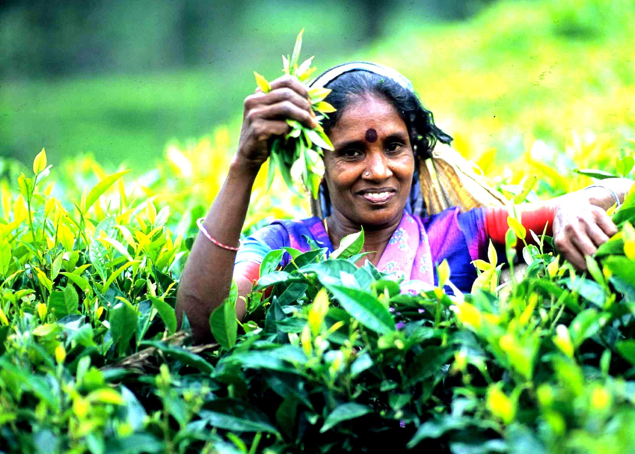 Tea%20Plucker%20Nuwaraeliya_edited