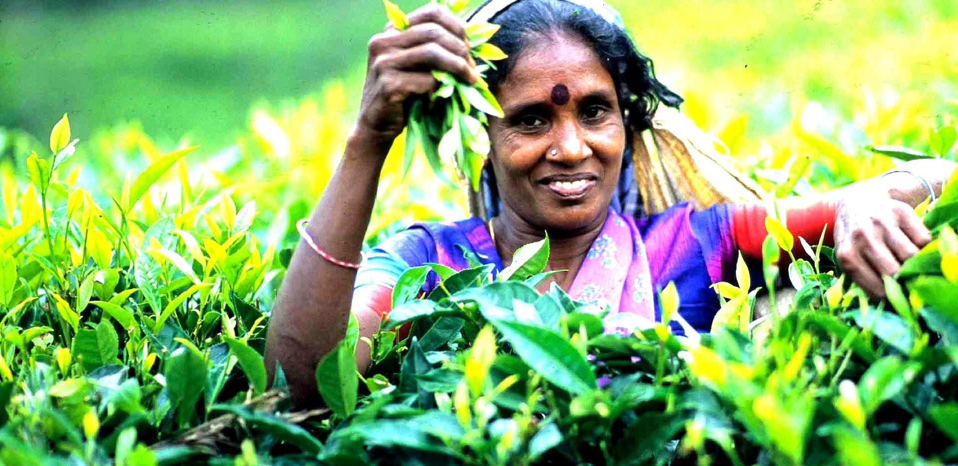 茶%20Plucker%20Nuwaraeliya_edited.jpg