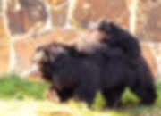 Bears in Sri Lanka