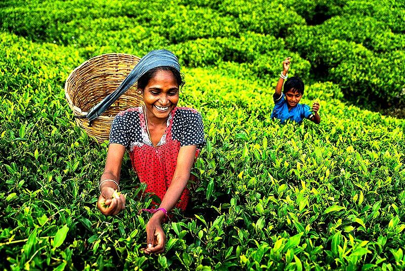 茶%20採摘%20Nuwaraeliya_edited.jpg