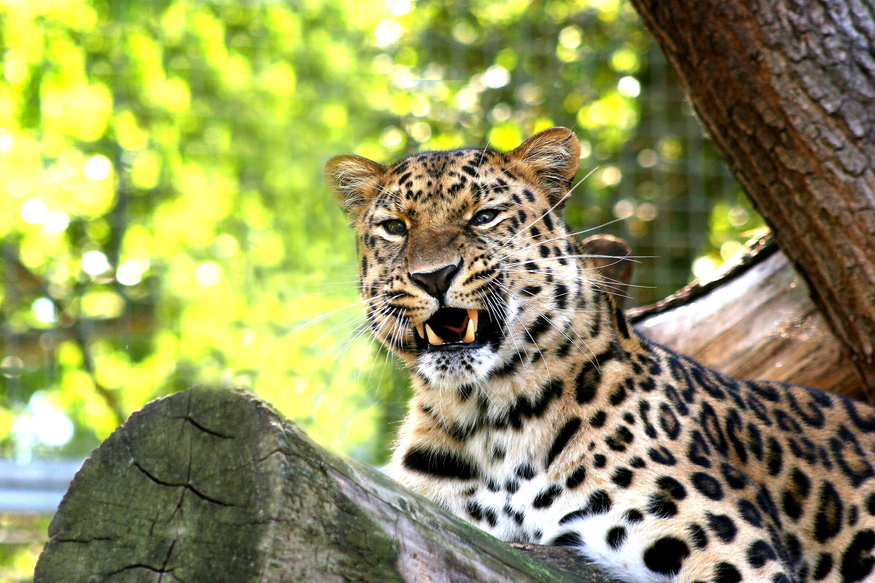 leopard-1390221_edited