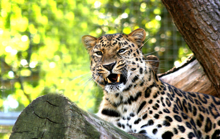 leopard-1390221_edited.jpg