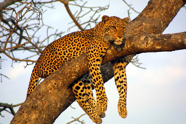 Leopards in Sri Lanka