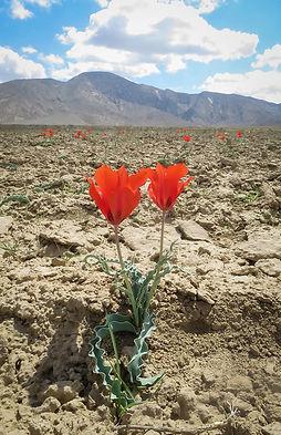 Gwadik Tulips of Dasht..jpg