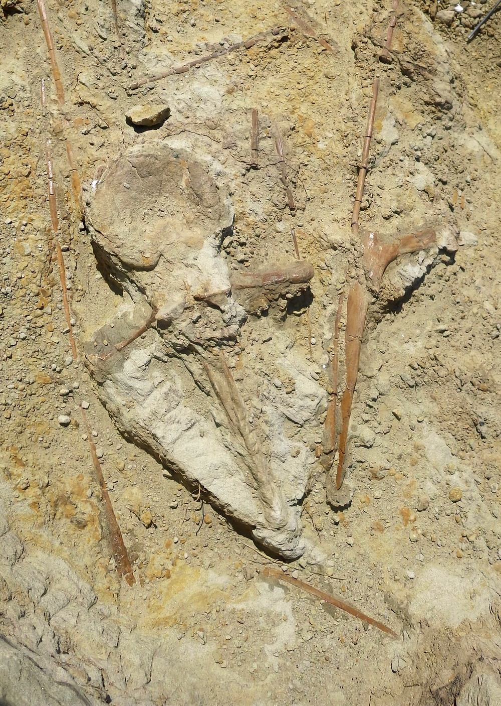 A thin dorsal spine attaches to the sturdier centrum in a hadrosaur vertebra