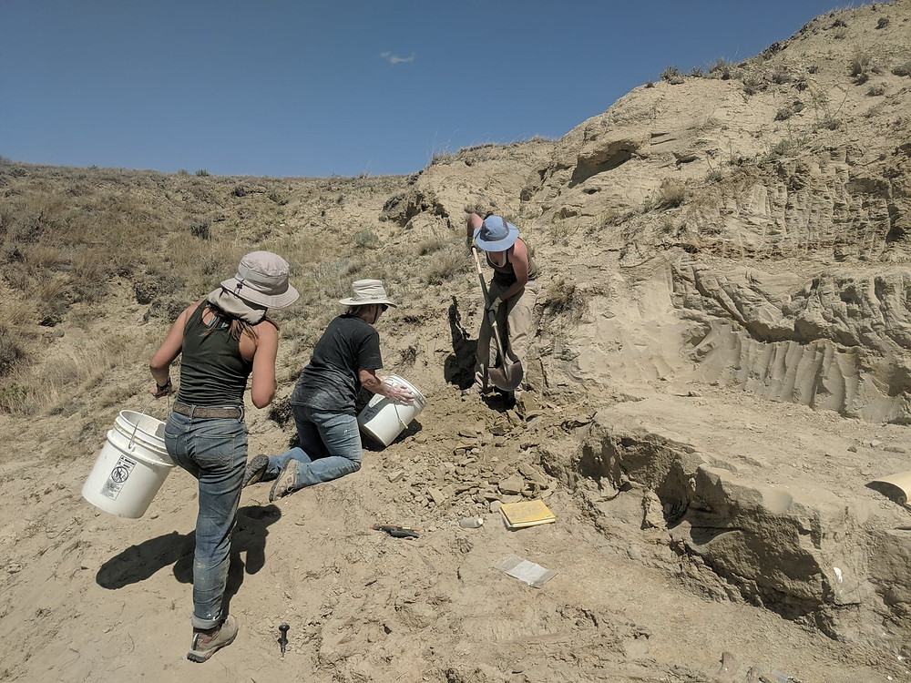 Staff and interns remove rock overburden from above the dinosaur.