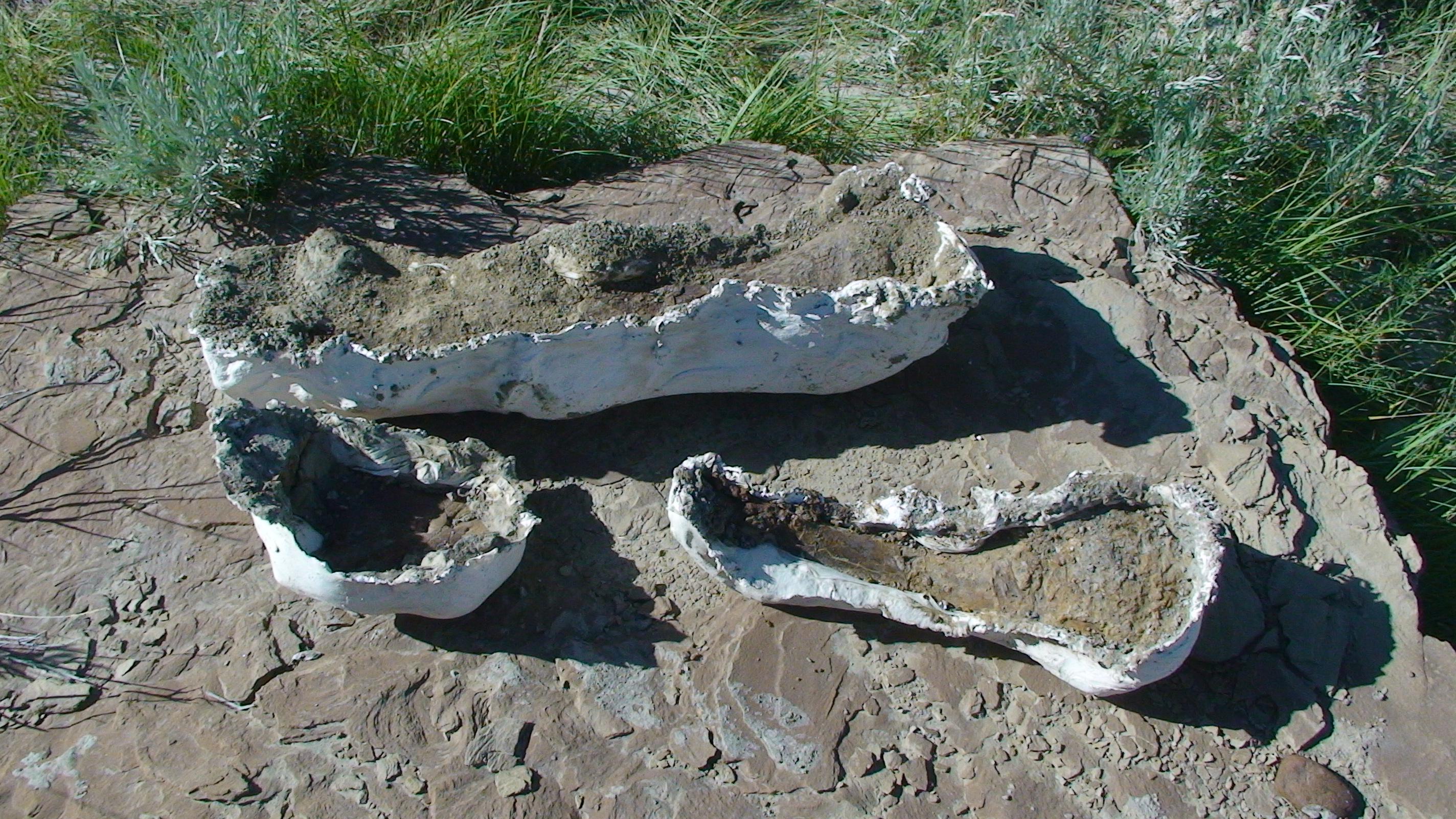Hadrosaur bones in plaster jackets.
