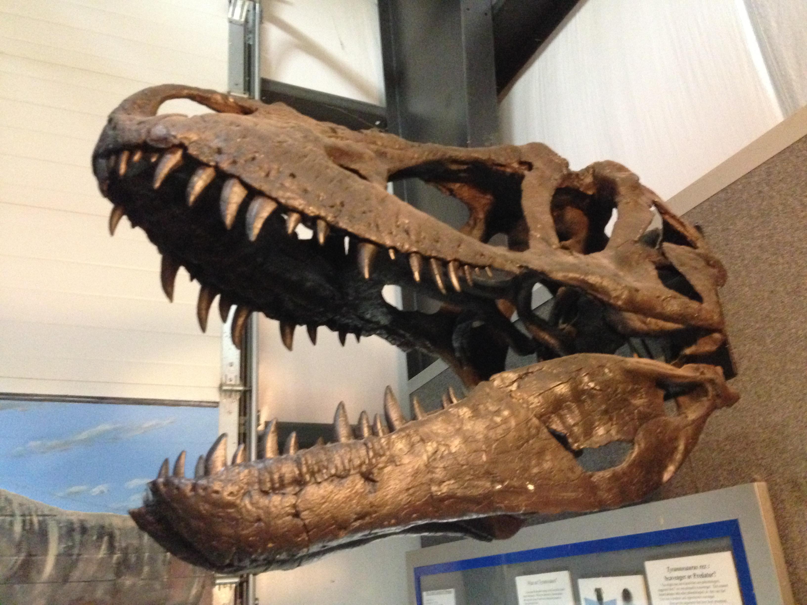 Daspletosaurus Skull