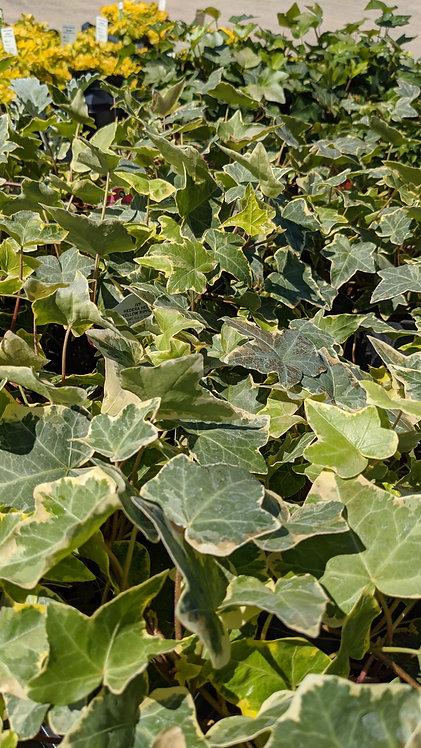 """4"""" German Ivy"""