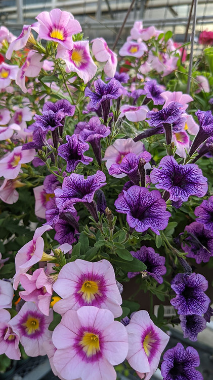 """11"""" Assorted Trailing Annual Mixes Hanging Baskets"""