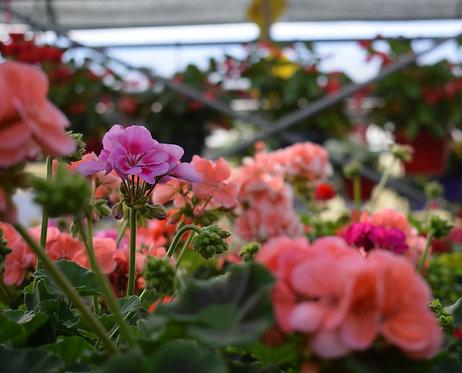 "12"" Geranium Fibre Hanging Basket w/ assorted Annuals"