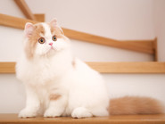 Kot szkocki prostouchy — kim jest oraz standard rasy