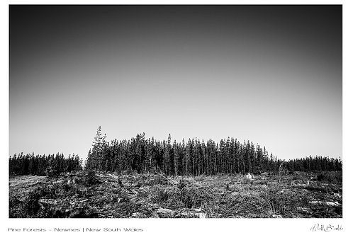 Pine Forest Signature Series - Canvas Textured A3 Photo Print