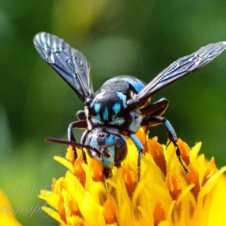 Cuckoo bees: cheats of the bee world