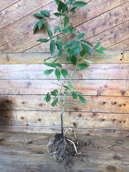Bare Root Elderberry Plant 3 Pack - Adams