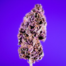 purple urkle