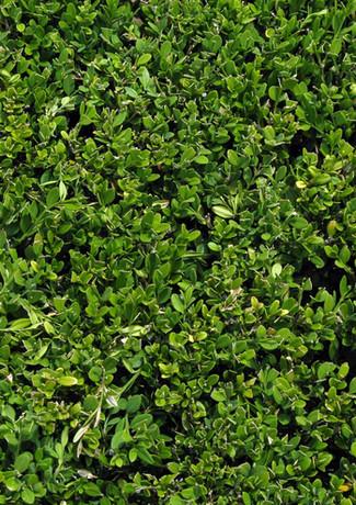 Bush Leaves