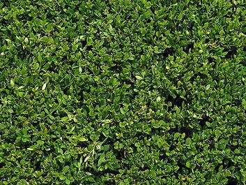 Bush Hedge Leaves