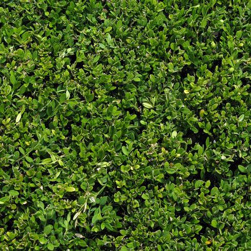 Pépinière à Domicile   Buisson & Arbustes