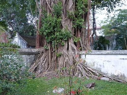 Ficus banian.JPG
