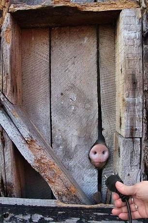 3 4 Prise cochon.jpg