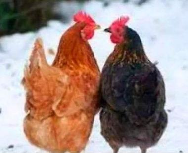 3 1 2 Hiver poules 2.jpg