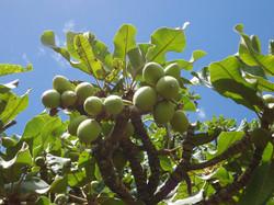 shea fruit