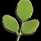 a moringa leaf stalk