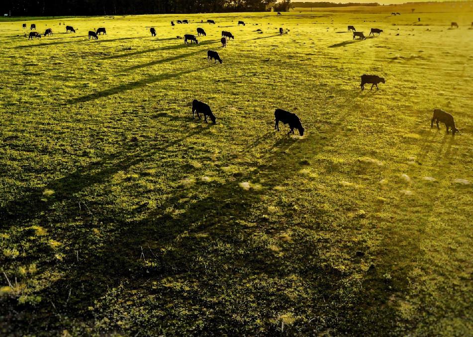 Dali Cows