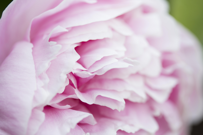 Pink Peony | Fine Art