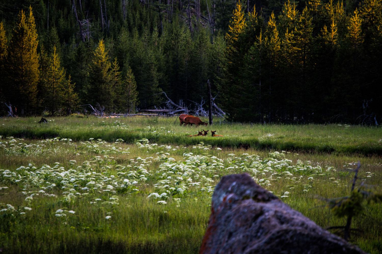 Elk-Calf-Yellowstone