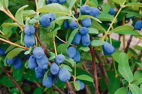 Happy Giant Haskap - Plant with Blue Moose