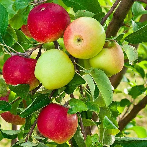 4 In 1 Apple Tree