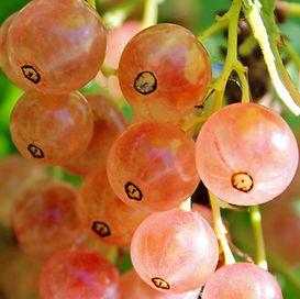Ribes-rubrum-Pink-Champagne.jpg