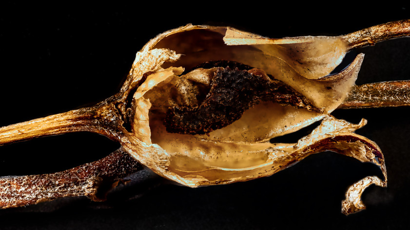 Seed capsule of tobacco