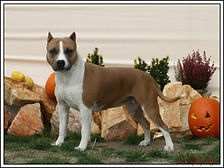 pretty amstaff female from benmar line, her name is Judy standing in front of some garden stone amstaff with halloween pumpkin royal court judy of serendipitystaff, amstaff, serendipity amstaff, serendipitystaff, serendipity staff, kennel, breeder, american staffordshire terrier, american staffordshire terrier, amerikai staffordshire terrier, bull type terrier, showdog, samune domotor reka