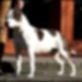 gabrielle solis from serendipity, amstaff, serendipity amstaff, serendipitystaff, serendipity staff, kennel, breeder, american staffordshire terrier, american staffordshire terrier, amerikai staffordshire terrier, bull type terrier, showdog, samune domotor reka