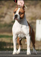 picture of our beautiful amstaff male name SBigStaff Energie Red Bull he is living with us at serendetipitystaff kennel sometimes named serendipity amstaffs kennel. Made this amazin amstaff photo in Dunaharaszti, Hungary photographer Reka Samune Domotor. royal courts gold heritage, amstaff, serendipity amstaff, serendipitystaff, serendipity staff, kennel, breeder, american staffordshire terrier, american staffordshire terrier, amerikai staffordshire terrier, bull type terrier, showdog, samune domotor reka