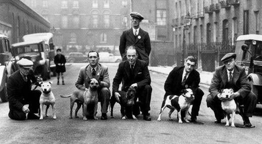 amstaff, dogshow, serendipitystaff, serendipity staff, american staffordshire terrier