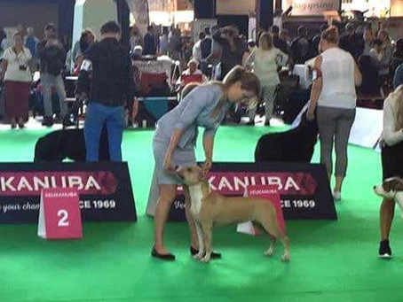 Best Hungarian placed amstaff from Hungary at World Dog Show 2018 - Amsterdam