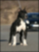 nana tarak of  serendipity he is a strong american staffordshire terrier male, real black and white standing out on the street in front of serendipity amstaff kennel place nana tarak serendipity das goloka, amstaff, serendipity amstaff, serendipitystaff, serendipity staff, kennel, breeder, american staffordshire terrier, american staffordshire terrier, amerikai staffordshire terrier, bull type terrier, showdog, samune domotor reka