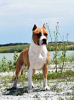 Amazing photo about a young american staffordshire terrier male named GucciTheAmstaff his official name Goodhunting Gotham's Blonde Prince he is a real amstaff and born in serendipity amstaffs or serendipitystaff kennel photo made by reka samune domotor goodhunting gothams blonde prince, guccitheamstaff, amstaff, serendipity amstaff, serendipitystaff, serendipity staff, kennel, breeder, american staffordshire terrier, american staffordshire terrier, amerikai staffordshire terrier, bull type terrier, showdog, samune domotor reka