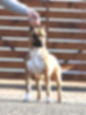 grande garcia from serendipity, amstaff, serendipity amstaff, serendipitystaff, serendipity staff, kennel, breeder, american staffordshire terrier, american staffordshire terrier, amerikai staffordshire terrier, bull type terrier, showdog, samune domotor reka