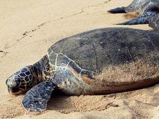 İsrael tarihinin en büyük çevre felaketinden kurtarılan kaplumbağalara 'mucize' tedavi