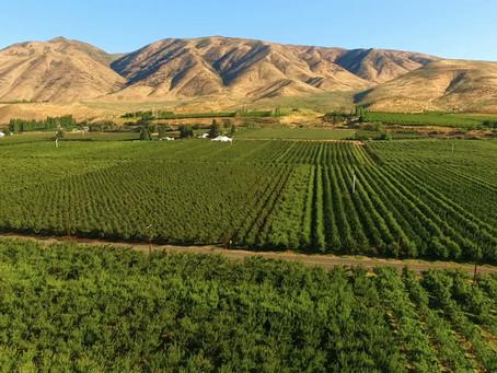 Washington cherry pickers work to save crop in heat wave