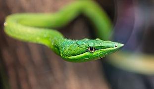 The Snake Dream TN