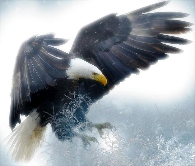 Bald Eagle 3.jpg