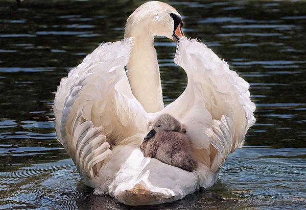 swan-4208564_1920.jpg