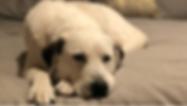 White Dog Dream TN