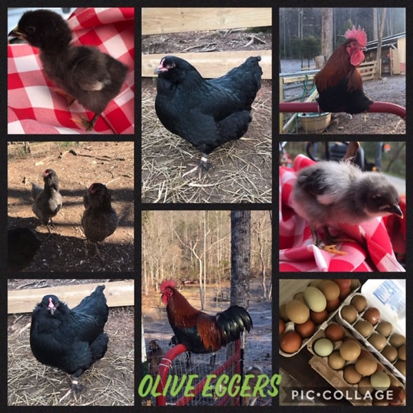 olive-eggers.JPG